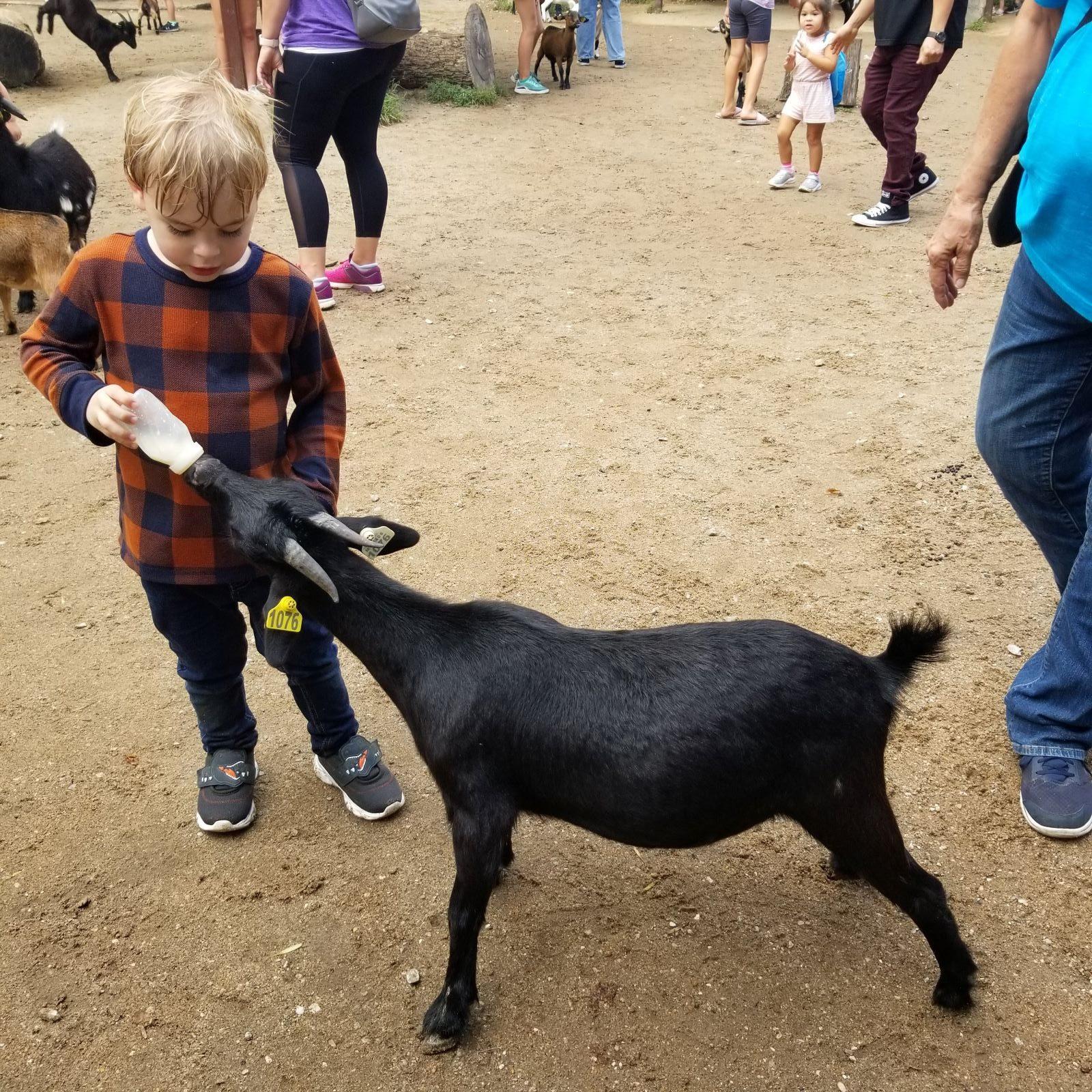 goat bottle feeding